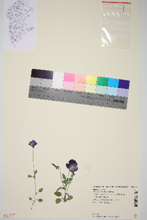 (Viola tricolor - TROM_V_964787_sg)  @11 [ ] by-nc-sa (2015) Unspecified Tromsø University Museum