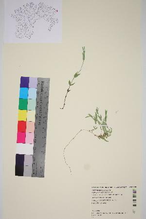 (Stellaria ponojensis - TROM_V_964910_sg)  @11 [ ] by-nc-sa (2016) Unspecified Tromso University Museum