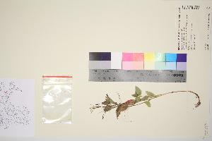(Epilobium alsinifolium - TROM_V_964952_sg)  @11 [ ] by-nc-sa (2016) Unspecified Tromso University Museum