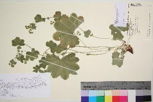 (Alchemilla murbeckiana - TROM_V_96581_sg)  @11 [ ] by-nc-sa (2016) Unspecified Tromso University Museum