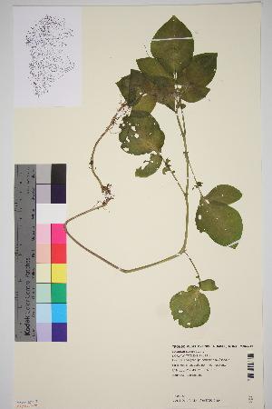 (Solanum tuberosum - TROM_V_966219_sg)  @11 [ ] by-nc-sa (2016) Unspecified Tromso University Museum