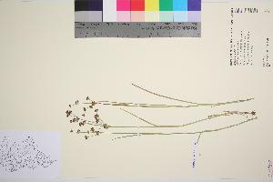 (Juncus articulatus - TROM_V_966228_sg)  @11 [ ] by-nc-sa (2016) Unspecified Tromso University Museum