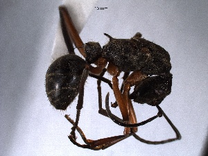 (Polyrhachis sp - WSSF120)  @11 [ ] CreativeCommons - Attribution Non-Commercial Share-Alike (2013) WSDA Entomology Washington State Department of Agriculture