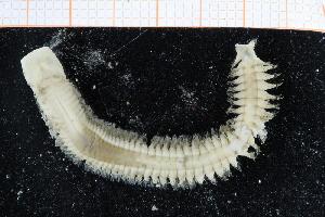 ( - UMBergen_NB_polych495)  @11 [ ] CC-by-nc-sa (2014) University of Bergen University of Bergen, Natural History Collections