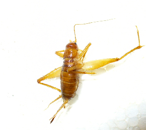 (Gryllomorphinae - 01DRAGO_F04)  @14 [ ] CreativeCommons - Attribution Non-Commercial Share-Alike (2010) Gergin Blagoev, Biodiversity Intitute of Ontario Biodiversity Institute of Ontario