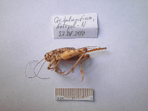 (Gryllomorphinae - 05DRAGO_A05)  @14 [ ] Copyright  G. Blagoev 2010 Unspecified