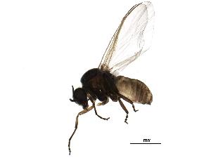 (Simulium nebulosum - BIOUG20924-D01)  @14 [ ] CreativeCommons - Attribution Non-Commercial Share-Alike (2015) CBG Photography Group Centre for Biodiversity Genomics