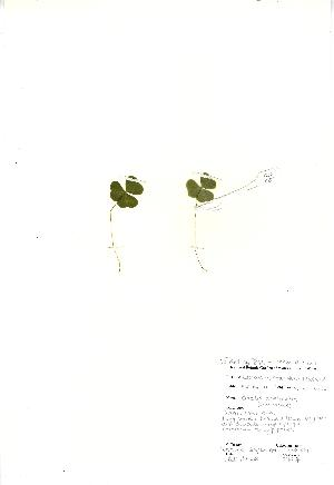 (Oxalis acetosella - NBGW2051)  @11 [ ] Unspecified (default): All Rights Reserved  Unspecified Unspecified