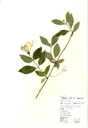 (Lonicera periclymenum - NBGW3030)  @11 [ ] Unspecified (default): All Rights Reserved  Unspecified Unspecified