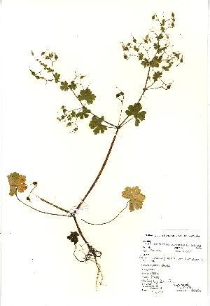 (Geranium lucidum - NBGW3033)  @11 [ ] Unspecified (default): All Rights Reserved  Unspecified Unspecified