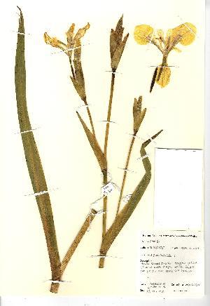 (Iris pseudacorus - NBGW4036)  @11 [ ] CreativeCommons - Attribution (2012) National Botanic Garden of Wales National Botanic Garden of Wales