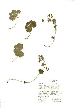 (Alchemilla filicaulis - NMW018)  @11 [ ] Unspecified (default): All Rights Reserved  Unspecified Unspecified