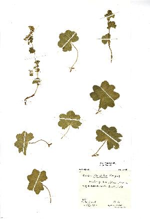 (Alchemilla glabra - NMW019)  @11 [ ] Unspecified (default): All Rights Reserved  Unspecified Unspecified