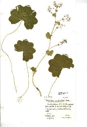 (Alchemilla xanthochlora - NMW020)  @11 [ ] Unspecified (default): All Rights Reserved  Unspecified Unspecified