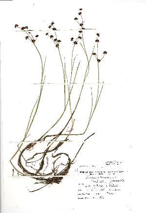 (Juncus articulatus - NMW1004)  @11 [ ] Unspecified (default): All Rights Reserved  Unspecified Unspecified