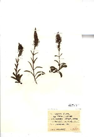 (Veronica spicata - NMW1012)  @11 [ ] Unspecified (default): All Rights Reserved  Unspecified Unspecified