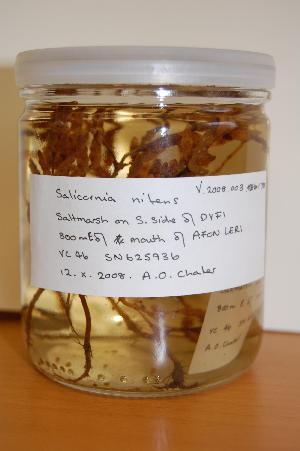 (Salicornia nitens - NMW1086)  @11 [ ] CreativeCommons - Attribution (2012) National Museum Wales National Museum Wales