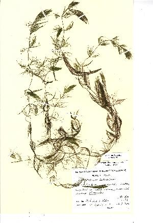 (Ceratophyllum submersum - NMW198)  @11 [ ] Unspecified (default): All Rights Reserved  Unspecified Unspecified
