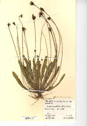 (Leontodon - NMW2219)  @11 [ ] CreativeCommons - Attribution (2012) National Museum Wales National Museum Wales