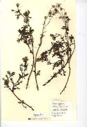 (Senecio cambrensis - NMW2253)  @11 [ ] CreativeCommons - Attribution (2012) National Museum Wales National Museum Wales