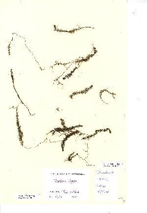 (Utricularia stygia - NMW2588)  @11 [ ] CreativeCommons - Attribution (2012) National Museum Wales National Museum Wales