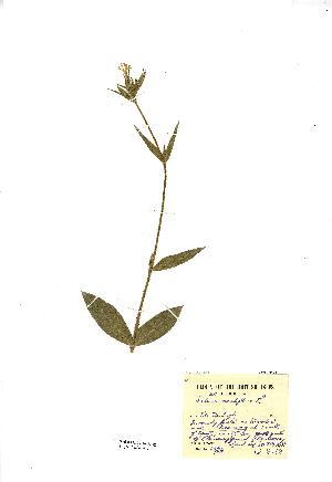 (Silene noctiflora - NMW2813)  @11 [ ] CreativeCommons - Attribution (2012) National Museum Wales National Museum Wales