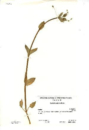 (Stellaria neglecta - NMW2839)  @11 [ ] CreativeCommons - Attribution (2012) National Museum Wales National Museum Wales