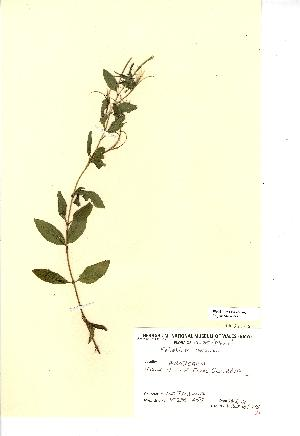 (Epilobium roseum - NMW293)  @11 [ ] Unspecified (default): All Rights Reserved  Unspecified Unspecified