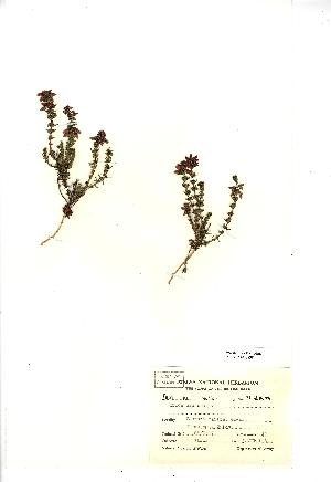 (Erica cinerea - NMW298)  @11 [ ] Unspecified (default): All Rights Reserved  Unspecified Unspecified