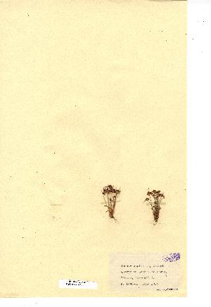 (Juncus capitatus - NMW3401)  @11 [ ] CreativeCommons - Attribution (2012) National Museum Wales National Museum Wales