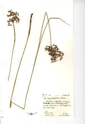 (Juncus subnodulosus - NMW3423)  @11 [ ] CreativeCommons - Attribution (2012) National Museum Wales National Museum Wales