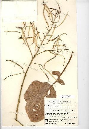 (Brassica oleracea - NMW3470)  @11 [ ] CreativeCommons - Attribution (2012) National Museum Wales National Museum Wales