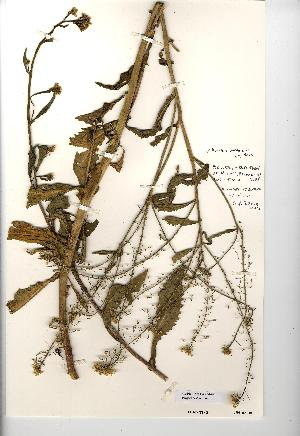 (Rorippa amphibia - NMW3542)  @11 [ ] CreativeCommons - Attribution (2012) National Museum Wales National Museum Wales