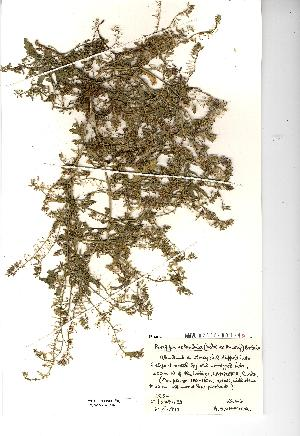 (Rorippa islandica - NMW3546)  @11 [ ] CreativeCommons - Attribution (2012) National Museum Wales National Museum Wales