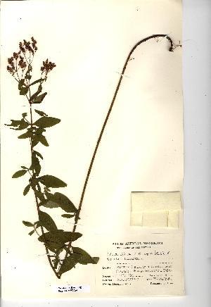 (Hypericum hirsutum - NMW3684)  @11 [ ] CreativeCommons - Attribution (2012) National Museum Wales National Museum Wales