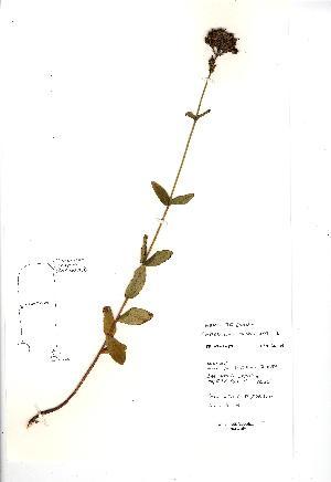 (Hypericum montanum - NMW3694)  @11 [ ] CreativeCommons - Attribution (2012) National Museum Wales National Museum Wales