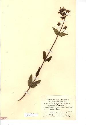 (Hypericum montanum - NMW3695)  @11 [ ] CreativeCommons - Attribution (2012) National Museum Wales National Museum Wales