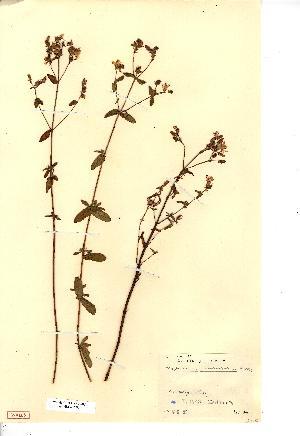 (Hypericum undulatum - NMW3703)  @11 [ ] CreativeCommons - Attribution (2012) National Museum Wales National Museum Wales