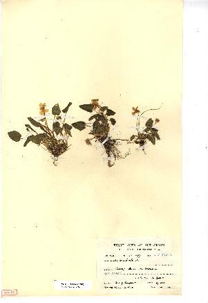 (Viola hirta - NMW3726)  @11 [ ] CreativeCommons - Attribution (2012) National Museum Wales National Museum Wales
