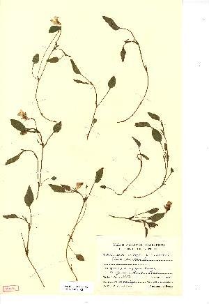(Viola lactea - NMW3728)  @11 [ ] CreativeCommons - Attribution (2012) National Museum Wales National Museum Wales