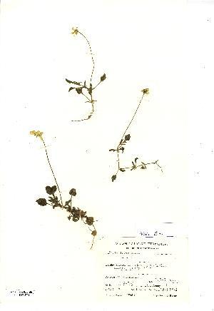 (Viola lutea - NMW3731)  @11 [ ] CreativeCommons - Attribution (2012) National Museum Wales National Museum Wales
