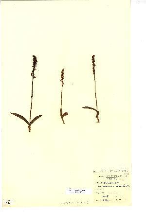 (Herminium - NMW3879)  @11 [ ] CreativeCommons - Attribution (2012) National Museum Wales National Museum Wales