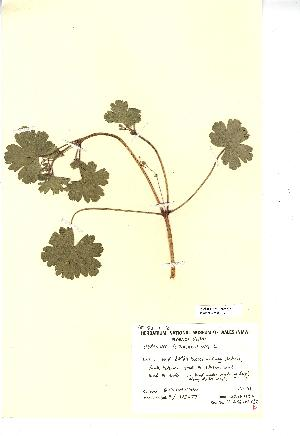 (Geranium rotundifolium - NMW389)  @11 [ ] Unspecified (default): All Rights Reserved  Unspecified Unspecified