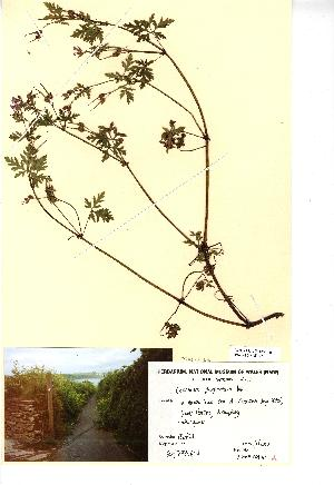 (Geranium purpureum - NMW392)  @11 [ ] Unspecified (default): All Rights Reserved  Unspecified Unspecified