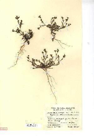 (Bupleurum - NMW4069)  @11 [ ] CreativeCommons - Attribution (2012) National Museum Wales National Museum Wales