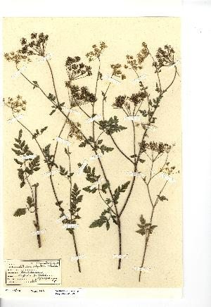 (Chaerophyllum - NMW4073)  @11 [ ] CreativeCommons - Attribution (2012) National Museum Wales National Museum Wales