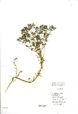 (Euphorbia exigua - NMW4145)  @11 [ ] CreativeCommons - Attribution (2012) National Museum Wales National Museum Wales