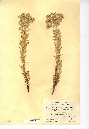 (Euphorbia paralias - NMW4150)  @11 [ ] CreativeCommons - Attribution (2012) National Museum Wales National Museum Wales