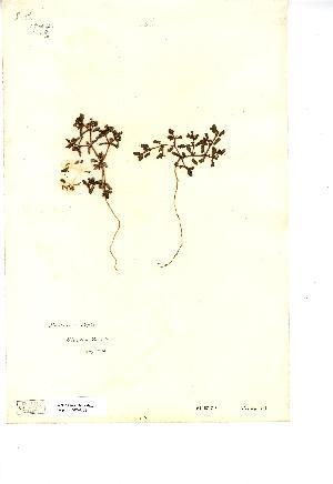(Euphorbia peplis - NMW4152)  @11 [ ] CreativeCommons - Attribution (2012) National Museum Wales National Museum Wales