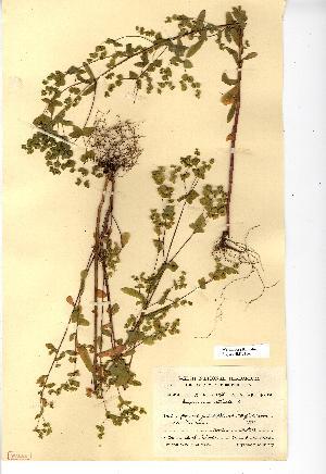 (Euphorbia serrulata - NMW4161)  @11 [ ] CreativeCommons - Attribution (2012) National Museum Wales National Museum Wales